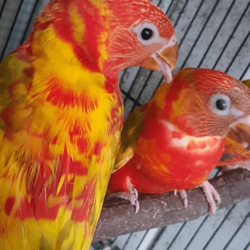בדיקת זיווג לבעלי כנף
